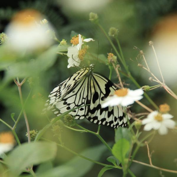 花の蜜をすうオオゴマダラ