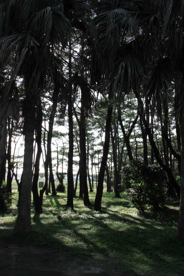 宮古島の・大野山林の琉球松