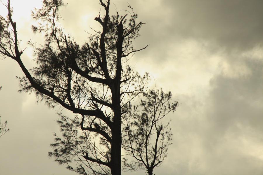 曇り空にそびえる木